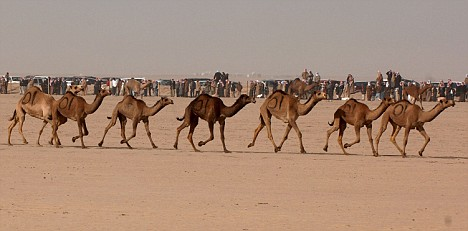Camels humps are filled with fat, not water