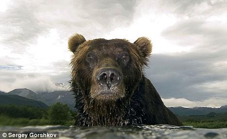 Sergey Gorshkov/Bear Glare/Kamchatka brown bear