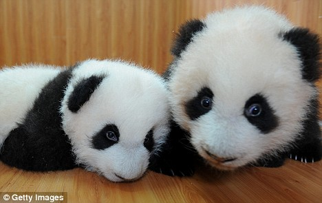 Twin giant panda cubs, the first twins delivered here this year