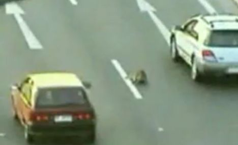 Strike: the dog staggers after he is hit by a speeding car