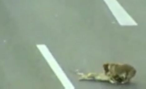 Frantic: the brave pup desperately tries to save his friend