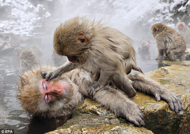Freezing fun: A young monkey plays with one of its elders in the hot spring