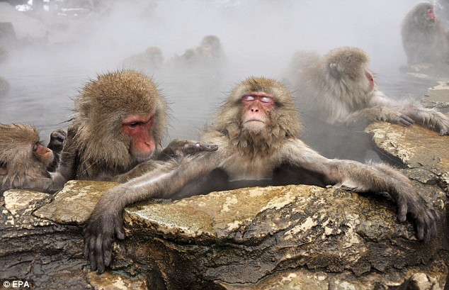 Just the ticket: A Japanese monkey looks extremely relaxed in a hot spring in the ski resort town of Yamanouchi