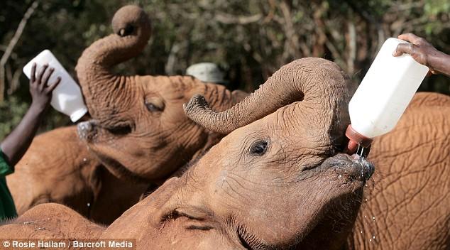 Elephants saved from poachers in Kenya