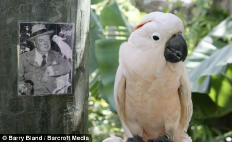 Pinky the cockatoo