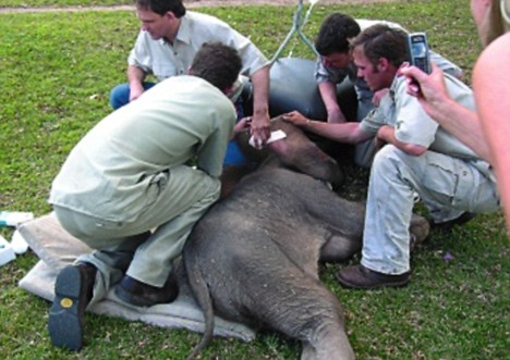 Freedom bid: When the elephants escaped they had to be darted with sedatives before being brought back to the newly-reinforced enclosure