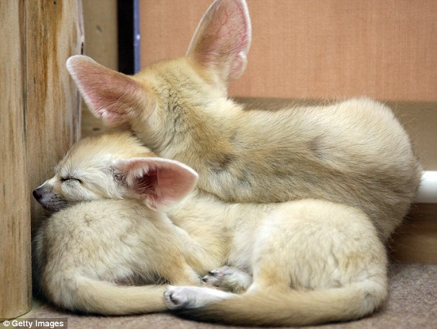 Snuggled up: Three Fennecs cuddle together in a show of brotherly love