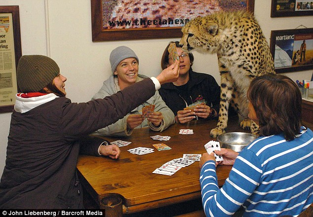SOUTH AFRICA: Riana Van Nieuwenhuizen and family playing cards with one of the cheetahs.