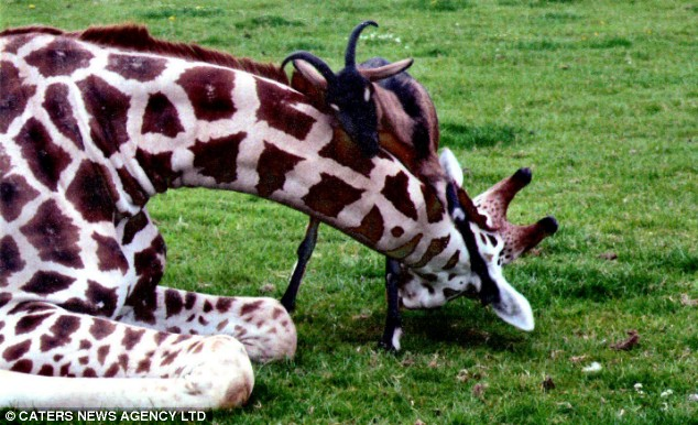 Gerald the Giraffe and Eddie the goat
