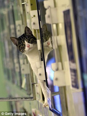 Stray cats sit in their pens at Battersea Dogs and Cats Home