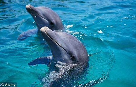 Innocent: Thousands of dolphins are killed each year by Japanese fishermen