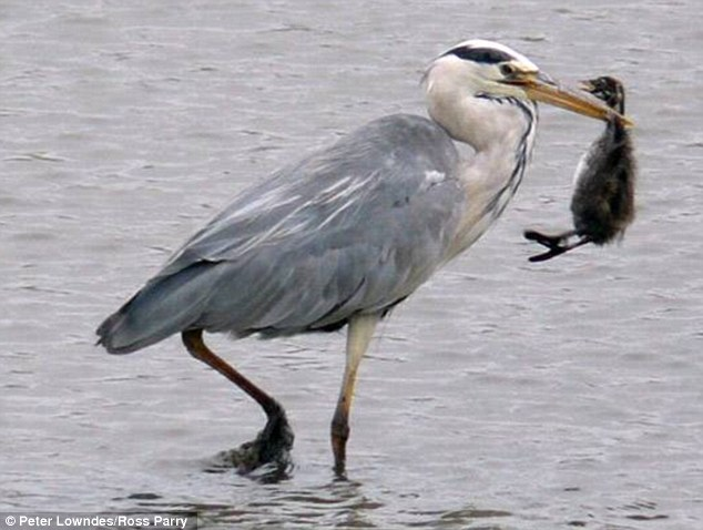 Dinner is served: the heron gets ready to swallow its prey