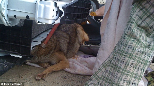 The front of the car is completely taken apart as the coyote begins to wriggle free