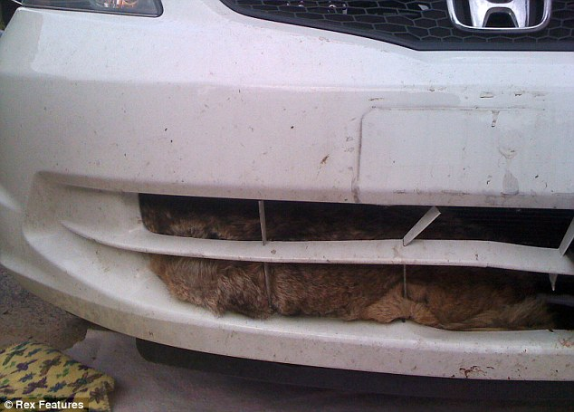 Fur Pete's sake: What Mr East spotted as he bent down to inspect the damage to his car - the body of the coyote poking out through the radiator
