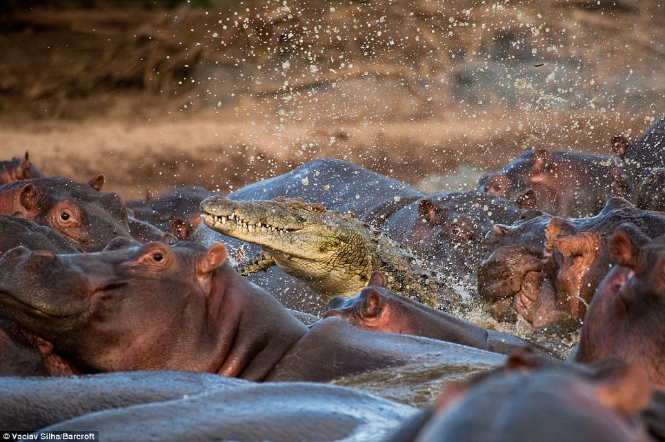 Making a splash: The crocodile met with death after racing across the hippos' backs to attack one of them