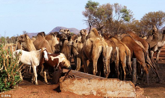 Thirsty: The herd of camels have invaded the town, drinking all the water they can find