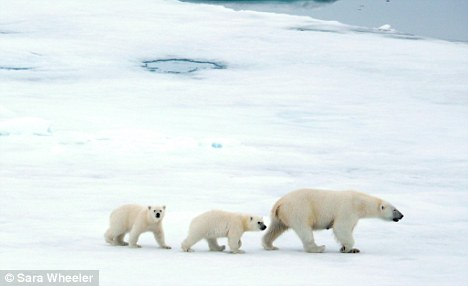 Sara Wheeler's photograph of a family of polar bears, the poster boys of climate change
