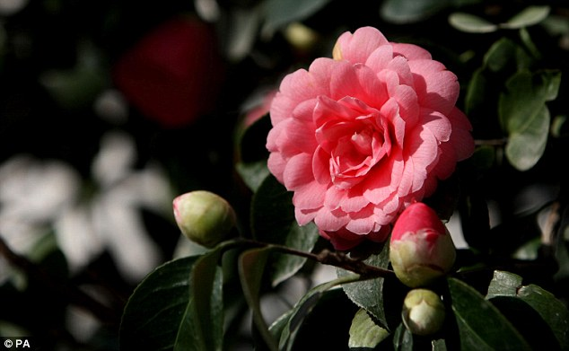 Rare beauty: This 'Middlemist's red' camellia, thought to be one of only two examples of the variety in the world, has bloomed at the Chiswick House Gardens conservatory