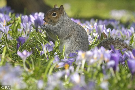 A common grey squirrel among blooming crocus in the sunny spring weather in Bath
