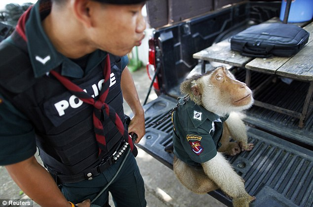 Hanging around: The monkey takes part in daily police patrols and helps locals collect coconuts