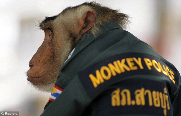 On duty: Santisuk's popularity has prompted other precincts in southern Thailand to consider adopting their own monkey