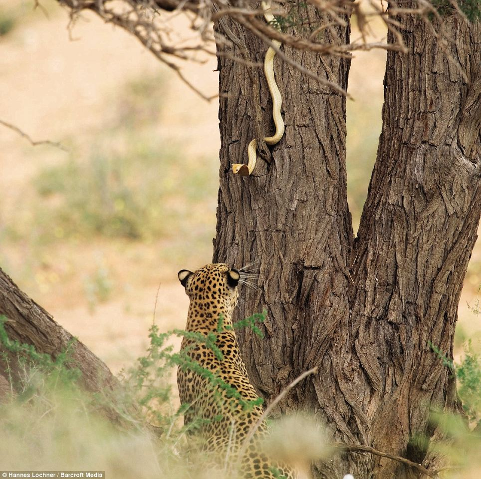 Get off my patch: A leopard and a Cape cobra face off against each in a highly dangerous battle over territory