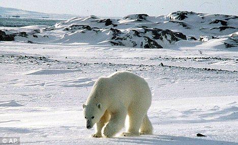 Remote: A polar bear on the remote Norwegian Svalbard archipelago