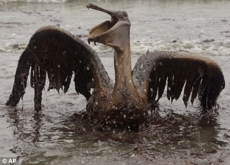 Oil from the Deepwater Horizon has affected wildlife throughout the Gulf of Mexico