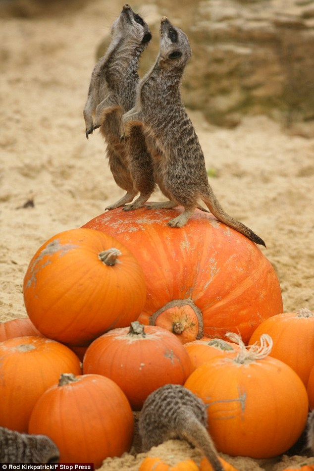 Kings of the castle: Two meerkats perch on the top of a sumo pumpkin in their pen at Chessington World of Adventures in Surrey