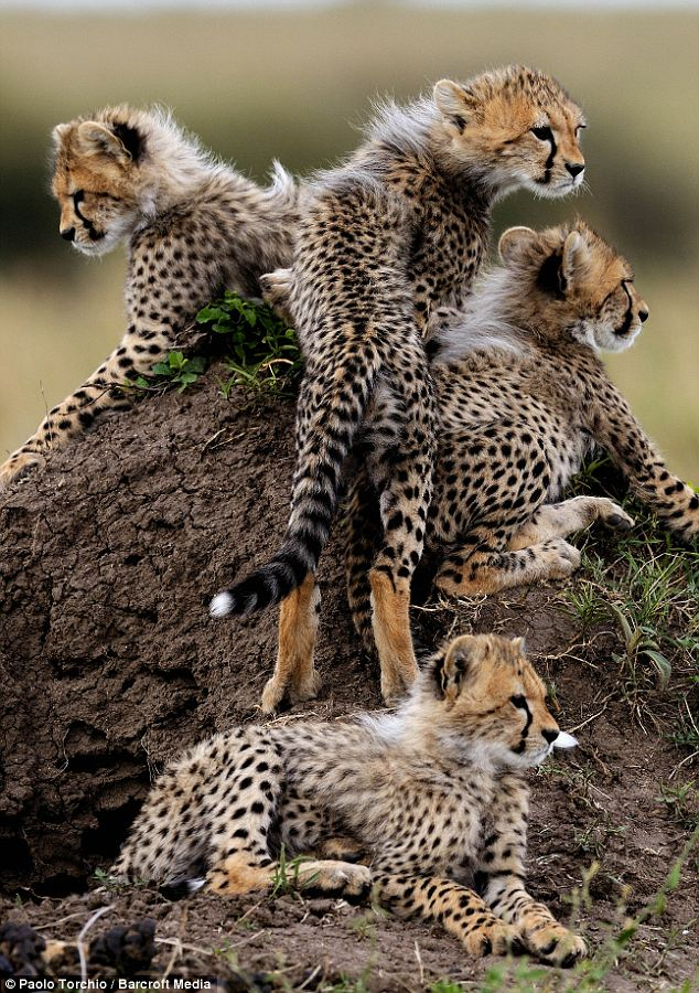 Cheetahs are easily distinguished from leopards by the black tear lines under their eyes