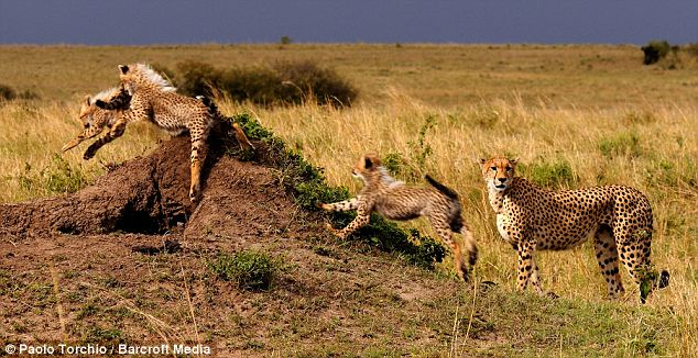 There was no father cheetah in site as the cubs dashed about with their mum close by