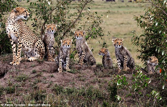 A cheetah with her six cubs in Massai Mara National Reserve, Kenya, all in a row