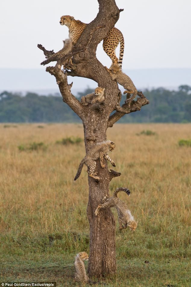 UP HERE! The cheetah led her brood up a tree for a better look at the beautiful surroundings