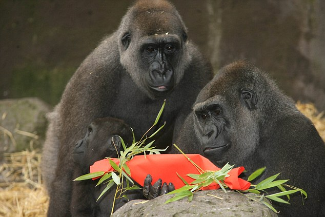 Festive: Three gorillas with one of their special crackers at Chessington