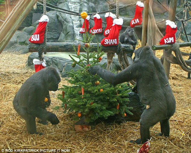 Christmas decorations: The gorillas put the finishing touches to their tree