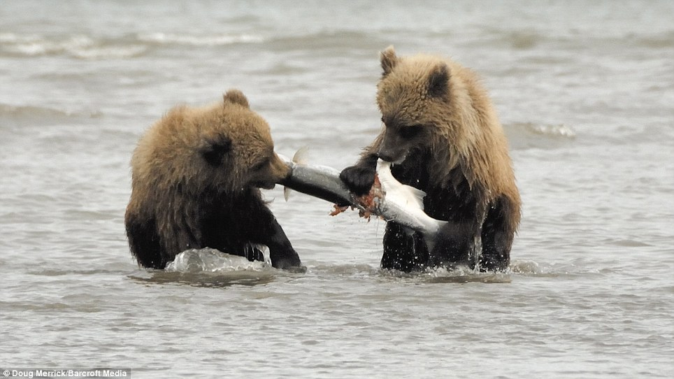 Mine! The two cubs share a salmon after copying their mother to catch the fish in the water