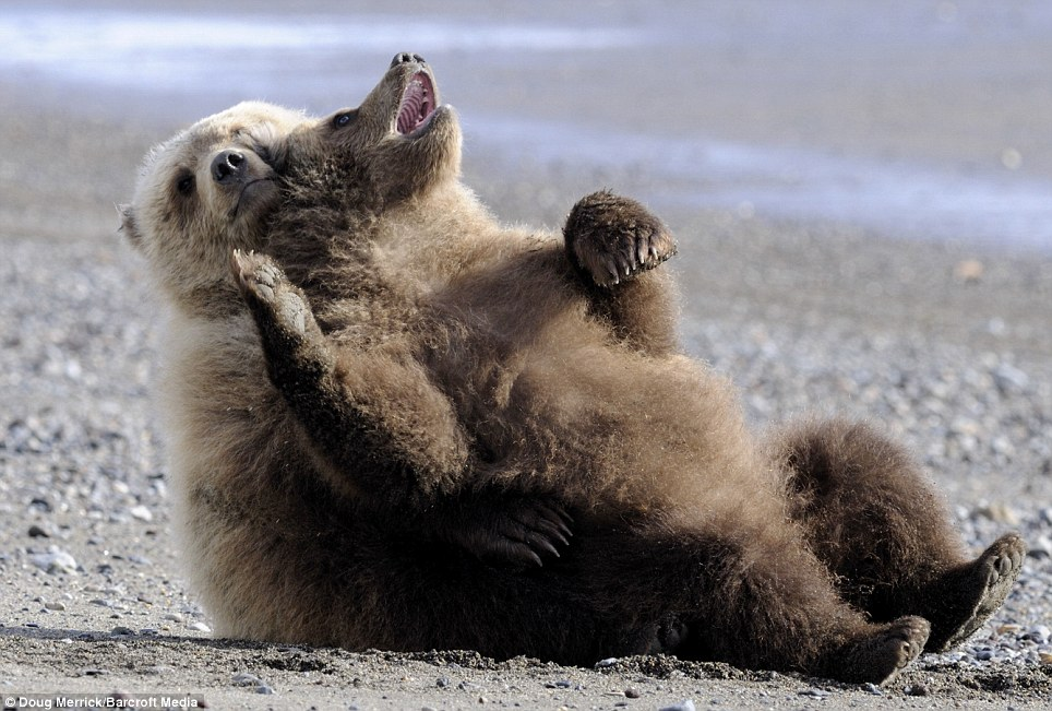 Laughing matter: Two brown bear cubs playfight on the beach at Lake Clark National Park near Port Alsworth, Alaska