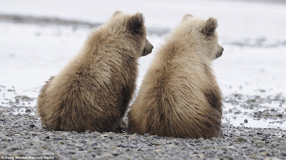 Watch with mother: The two cubs sit next to each other as the adult bear catches salmon in Silver Salmon Creek