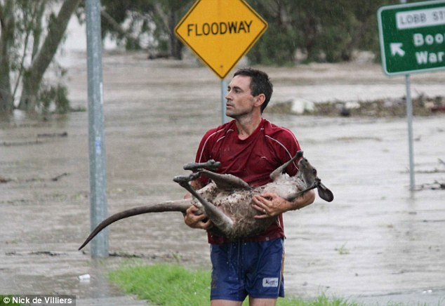 Safety: An animal lover rescues a kangaroo from flood waters in Ipswich
