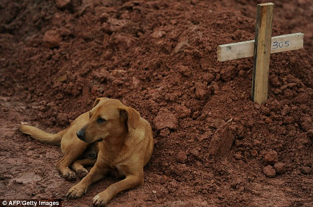 Vigil: Leao the dog sits for a second consecutive day next to the grave of her owner Cristina Maria Cesario Santana was killed in the landslides