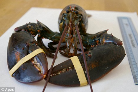 Diseased: A Canadian lobster found off the coast of Devon. Its claws are bound by elastic bands, suggesting it was dumped overboard by a passing ship