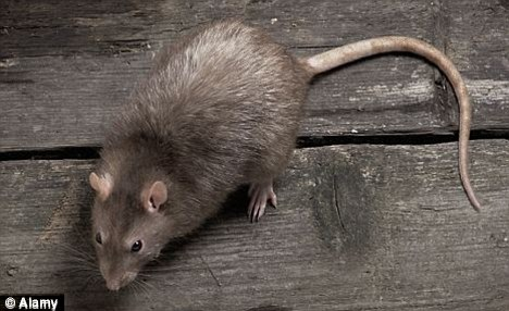 TV star: A rat like the one that surprised viewers