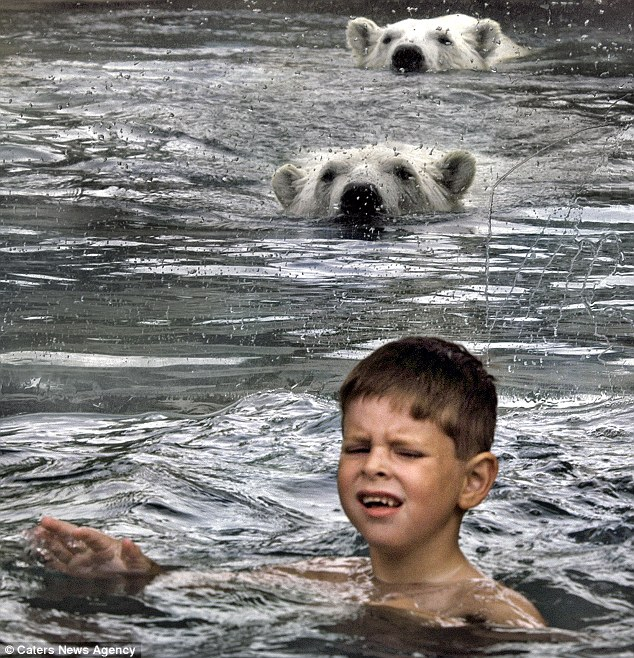 They're behind you: A child keeps his head above water as the two bears swim towards him - but everything is not as it seems