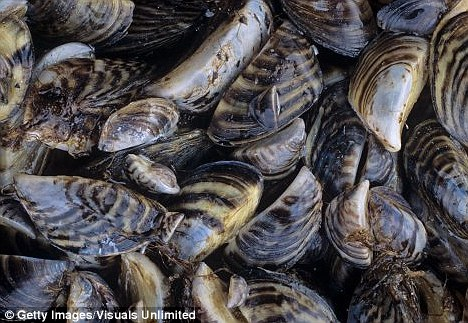 Moules frites? The earliest settlers apparently had a penchant for shellfish including mussels and snails. Thousands of shells were found on the islands