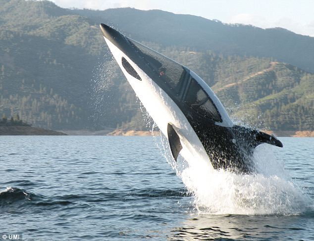 Breaking the waves: The shark-like Seabreacher X can reach surface speeds of 50mph and has the turning style of a dolphin
