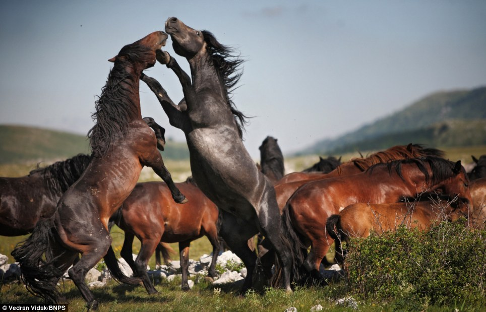 Show-down: Two stallions rear up onto their hind legs and clatter their hooves against each other in a bid to dominate the wild herd in the Cincar mountains in Bosnia