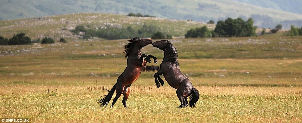 Vicious: A powerful bay horse goes to bite the other beast while using its front legs to jab its opponent's neck