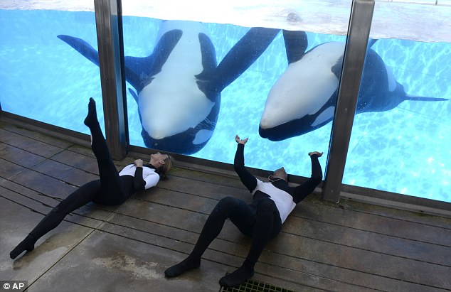 He's back: Kelly Flaherty Clark, left, and trainer Joe Sanchez work with killer whales Tilikum, left and Trua, during a training session at SeaWorld in Orlando