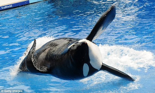 Flawless performance: There was no special reference made in yesterday's show to Tilikum's return