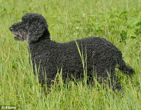 Domesticated: The French would use poodle-like animals as hunting partners and to keep them warm when they sheltered in caves 15,000 years ago